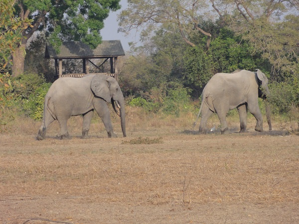 Two male elephants on our walking safari